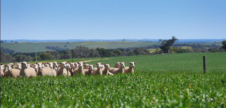 Coolawang Commercial Sheep Flock, Mundulla South Australia