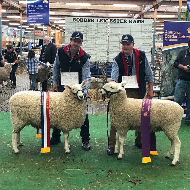 Junior & Reserve Champion Border Leicester Ewe, Royal Adelaide Show 2018