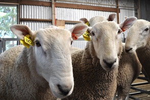 Rams at the 2011 Coolawang Annual Sale