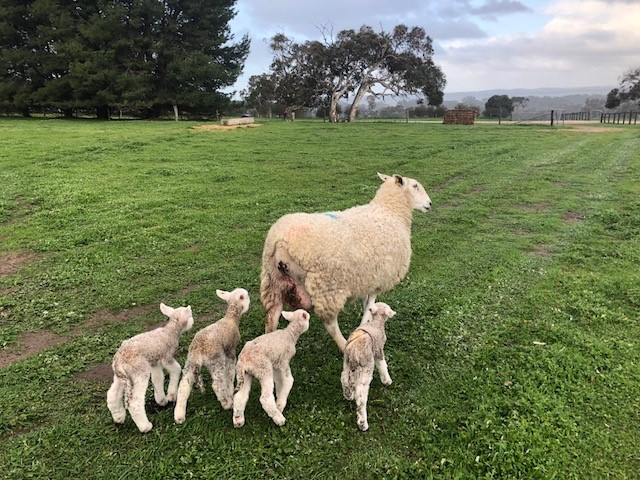Coolwang Border Leicesters and First Cross Ewes