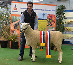 Coolawang Junior & Grand Champion Border Leicester Ram 2017 Adelaide Show